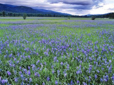 Field of Blue Camas Wildflowers near Huson, Montana, USA-Chuck Haney-Photographic Print
