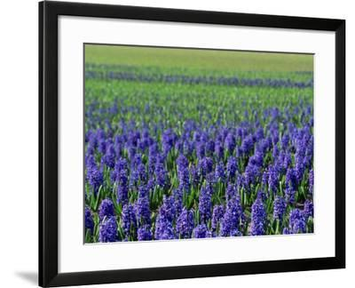 Field of Blue Hyacinths at Lisse in the Netherlands, Europe-Murray Louise-Framed Photographic Print