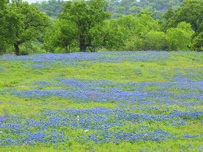 https://imgc.artprintimages.com/img/print/field-of-bluebonnets-and-oak-trees-north-of-llano-texas-on-highway-16_u-l-q1gcthh0.jpg?artPerspective=n