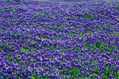 Field of bluebonnets in bloom Spring Willow City Loop Rd. TX--Photographic Print