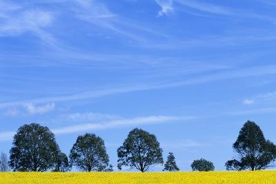 Field of Bright Yellow Mustard Seed--Photographic Print