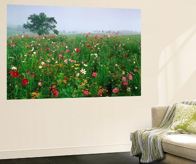 Field of Cosmos Flower, Union, Kentucky, USA-Adam Jones-Wall Mural