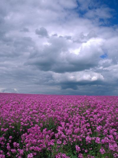 Field of Dames Rocket and Clouds, Oregon, USA-Julie Eggers-Photographic Print