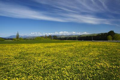 Field of Dandelions, Near Greta Valley, North Canterbury, South Island, New Zealand-David Wall-Photographic Print