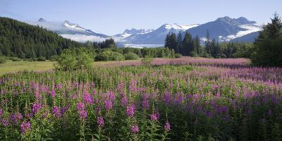 Field of Fireweed with Coast Mountains and Mendenall Glacier-Design Pics Inc-Photographic Print