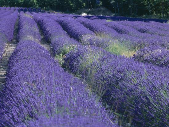 Field of Lavander Flowers Ready for Harvest, Sault, Provence, France, June 2004-Inaki Relanzon-Photographic Print