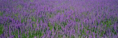 https://imgc.artprintimages.com/img/print/field-of-lavender-hokkaido-japan_u-l-oi14m0.jpg?p=0