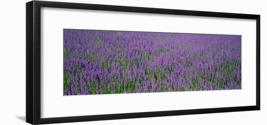 Field of Lavender, Hokkaido, Japan--Framed Photographic Print