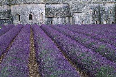Field of Lavender-David Nunuk-Photographic Print