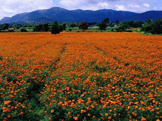 Field of Marigolds Near Mysore-Richard l'Anson-Photographic Print