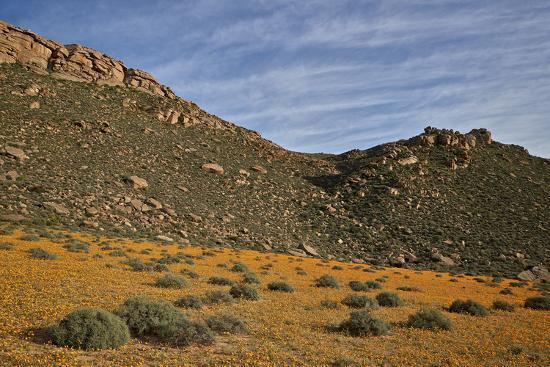 Field of Namaqualand daisy (Jakkalsblom) (Dimorphotheca sinuata), Namakwa, Namaqualand, South Afric-James Hager-Photographic Print