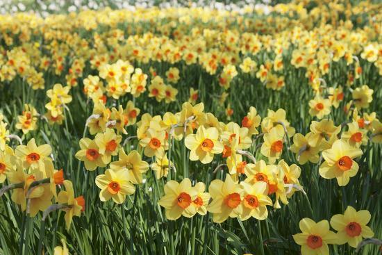 Field of Narcissi, Mainau Island in Spring, Lake Constance, Baden-Wurttemberg, Germany, Europe-Markus Lange-Photographic Print