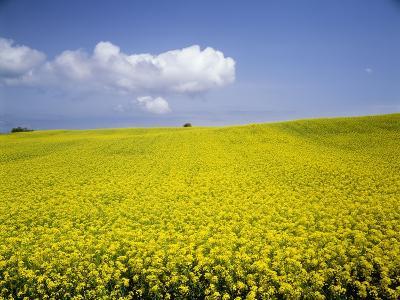 Field of oilseed rape, Yokohama, Aomori Prefecture, Japan-Aso Fujita-Photographic Print