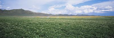 Field of Potato Crops, Idaho, USA--Photographic Print