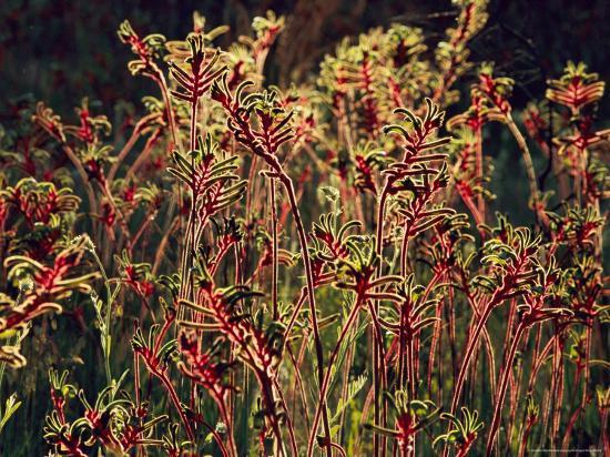 Field of Red and Green Kangaroo Paws-Jonathan Blair-Photographic Print