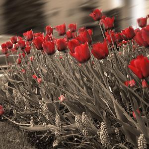 Field of Roses I