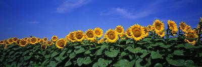Field of Sunflowers, Bogue, Kansas, USA--Photographic Print