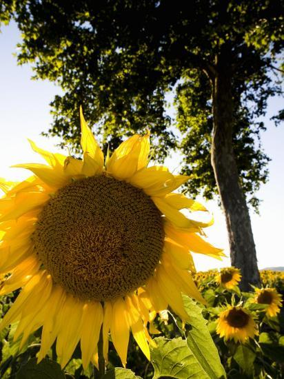Field of Sunflowers in Full Bloom, Languedoc, France, Europe-Martin Child-Photographic Print