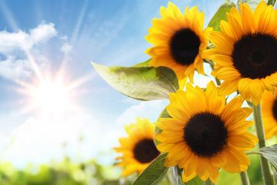 https://imgc.artprintimages.com/img/print/field-of-sunflowers-in-the-morning_u-l-q104yd70.jpg?p=0