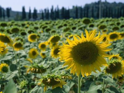 Field of Sunflowers in the Tuscan Countryside-Gina Martin-Photographic Print