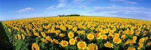 Field of Sunflowers Kansas USA