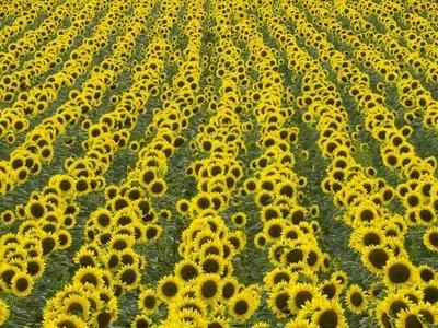 https://imgc.artprintimages.com/img/print/field-of-sunflowers_u-l-pzkwib0.jpg?p=0