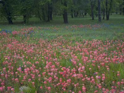 Field of Texas Blue Bonnets, Phlox and Oak Trees, Devine, Texas, USA-Darrell Gulin-Photographic Print