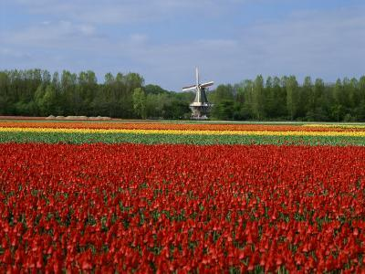 Field of Tulips with a Windmill in the Background, Near Amsterdam, Holland, Europe--Photographic Print