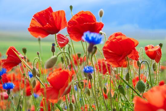 Field of Wild Poppies and Other Flowers-Maria Uspenskaya-Photographic Print