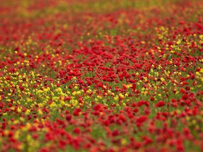 Field Poppy (Papaver Rhoeas)-Adrian Bicker-Photographic Print