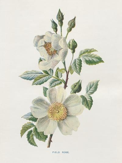 Field Rose-Gwendolyn Babbitt-Art Print
