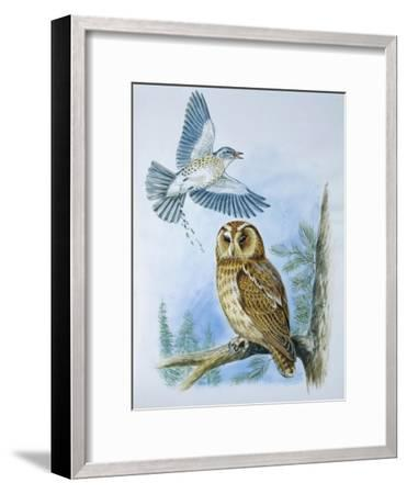 Fieldfare (Turdus Pilaris) Splashing its Droppings Against Tawny Owl (Stix Aluco) to Defend its Ter--Framed Giclee Print