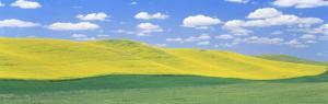 Fields of Barley, Lentils, and Canola, Whitman County, Washington State, USA