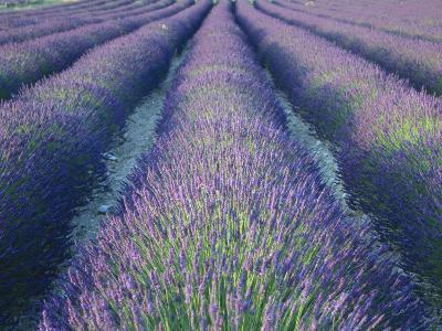 Fields of Lavander Flowers Ready for Harvest, Sault, Provence, France, June 2004-Inaki Relanzon-Photographic Print