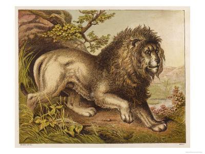 Fierce-Looking Lion from the Atlas Mountains of North Africa--Giclee Print