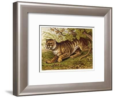 Fierce-Looking Tiger Emerges from the Indian Jungle--Framed Giclee Print