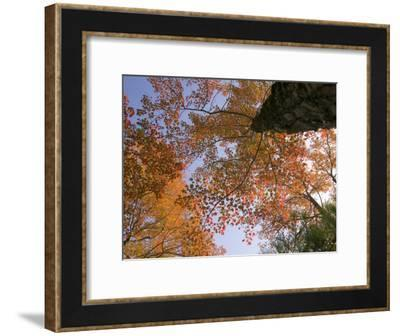 Fiery Orange Leaves Seen Above from a Low Angle Shot of a Tree-Michael Melford-Framed Photographic Print
