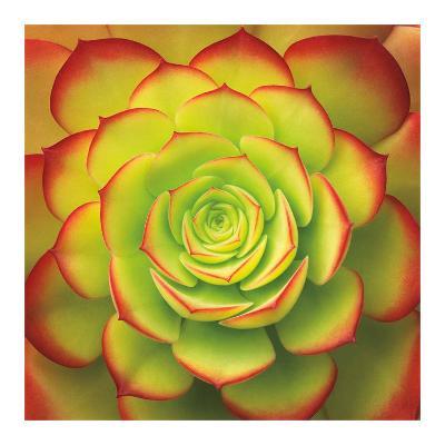 Fiery Succulent-Jan Bell-Art Print