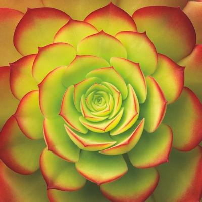 https://imgc.artprintimages.com/img/print/fiery-succulent_u-l-q1b78qy0.jpg?p=0
