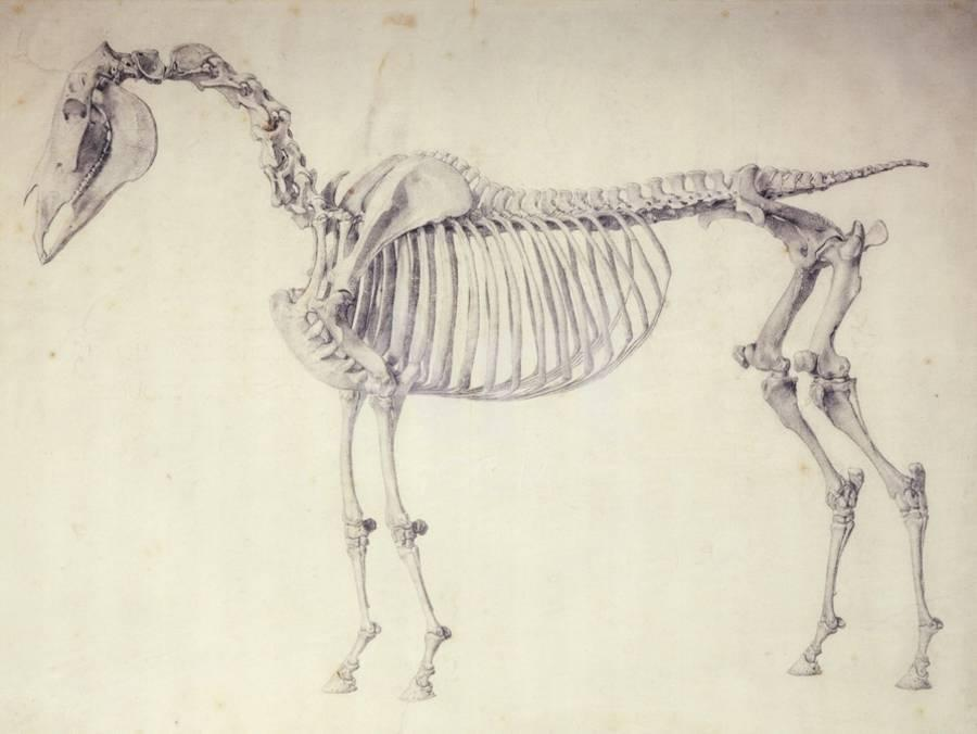 Fifth Anatomical Table, from \'The Anatomy of the Horse\' Giclee Print ...
