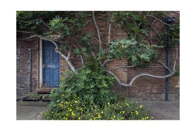Fig Tree Against Brick Wall Blue Door-Henri Silberman-Photographic Print