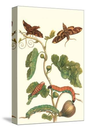 Fig Tree with Fig Sphinx-Maria Sibylla Merian-Stretched Canvas Print