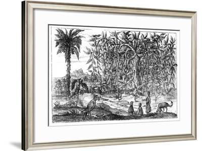 Fig Trees, 19th Century--Framed Giclee Print