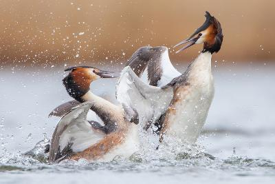 Fighting Grebes-Rien van Zuijlen-Photographic Print