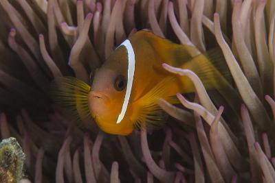 Fiji Anemone Fish Sheltering in Host Anemone for Protection, Fiji-Pete Oxford-Photographic Print