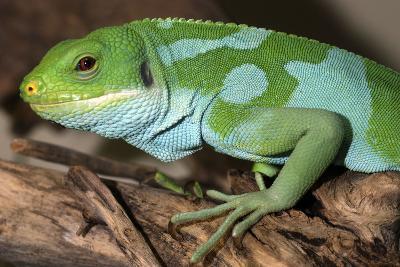 Fiji Banded Iguana Male--Photographic Print