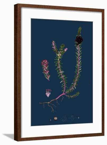 Filago Minima; Slender Cudweed--Framed Giclee Print