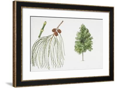 Filao Tree (Casuarina Equisetifolia) Plant with Flower, Leaf and Fruit--Framed Giclee Print
