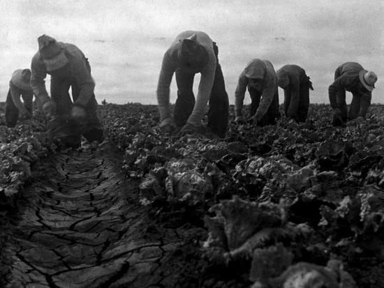 Filipinos Cutting Lettuce, Salinas, California, 1935' Photo ...
