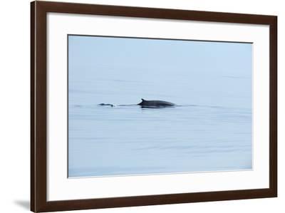 Fin Whale, Svalbard, Spitzbergen, Norway-Raimund Linke-Framed Photographic Print